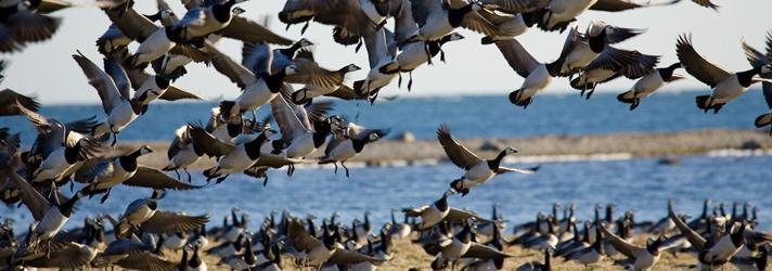 Перелеты и гнездования