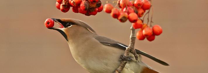 Чем и как питаются птицы
