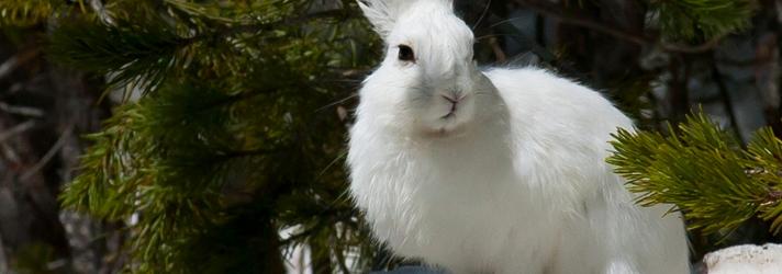 Опыт разведения зайца-беляка